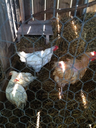 The Ratty Four Chickens